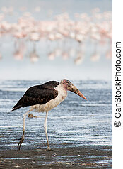 Marabu Stork (Leptoptilos crumeniferus) walking on Lake...