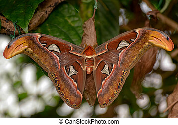 Atlas moth Attacus atlas