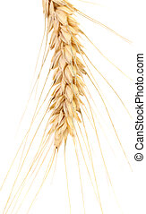 Ear of wheat. Isolated on a white background.
