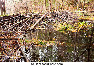 Beaver dam in fall colored forest wetland swamp habitat in...