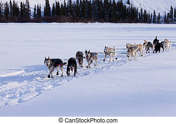 Dogsled team of siberian huskies out mushing on snow pulling...