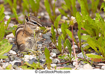 Least Chipmunk Tamias minimus foraging dandelions - Cute...