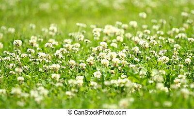 White clover (Trifolium repens) and grass