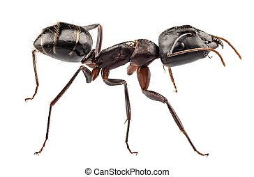 Carpenter Ant species camponotus vagus in high definition...
