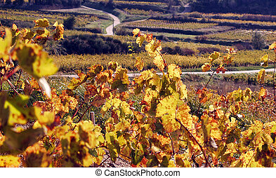 Vineyard Landscape in autumn, Provence, France