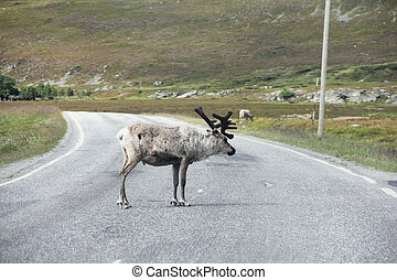 Male Elk crossing road - Male wild Elk crossing road in...