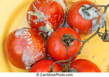 Rotten tomatos with white mold outside on vine