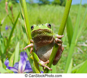 Hyla 7 - A close-up of a frog hyla Hyla japonica on haulm of...