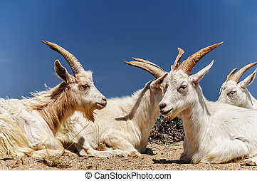 A herd of domestic goats, Crimea, Ukraine