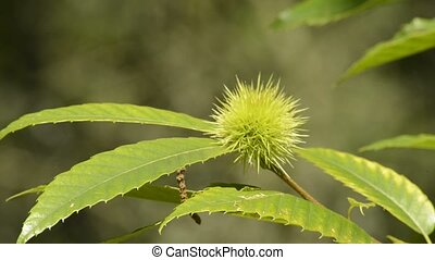Chestnut at a tree