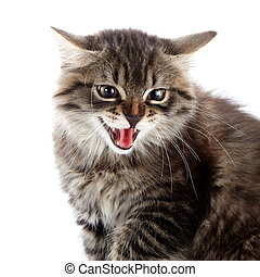 Portrait of an angry hissing cat.
