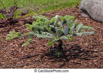 Coniferous young bush grown up in the garden
