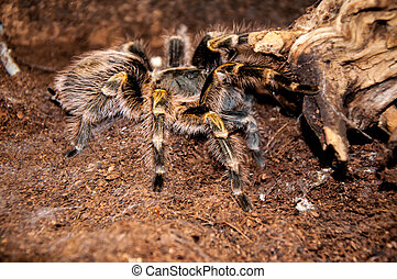 Grammostola aureostriata or Chaco golden striped knee