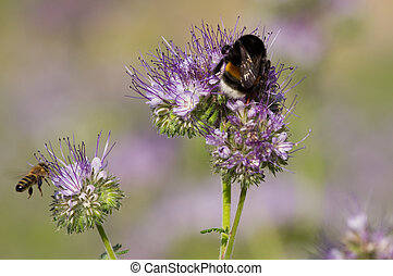 Bumblebee and phacelia flower - Bumblebee on the phacelia...