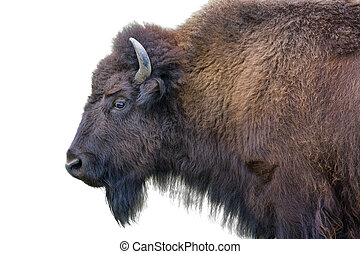 Adult Bison Isolated on White - Adult horned buffalo...