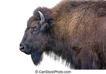 dorosły, bizon, odizolowany, biały