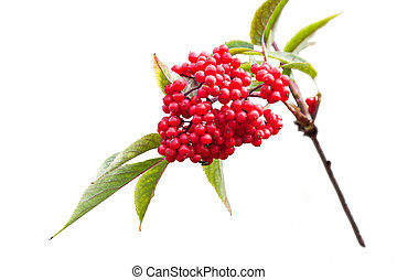 Sambucus - Cluster of ripe sambucus on a branch, it is...