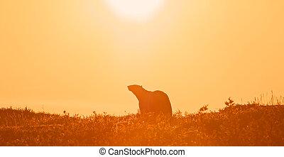 Polar Bear in the sunset