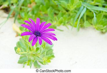 Arctotis flower - closeup of Arctotis flower in the summer...