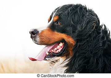 Bernese Mountain Dog portrait. Adult, purebred. Head...