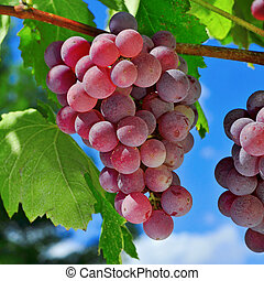 grapes on a vine - closeup of bunch of ripe grapes on a...