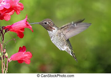 Annas Hummingbird (Calypte anna) in flight at a flower with...
