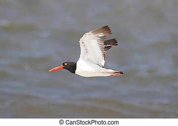 American Oystercatcher Haematopus palliatus in flight over...