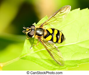 Hover-fly perched on a green leaf.