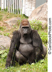 Large gorilla looking straight at the camera