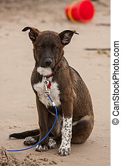 go on beach - brown and white dog with leash on a beach