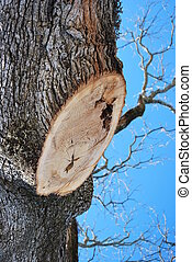 Trimmed tree - A look at the rings in tree where a large...
