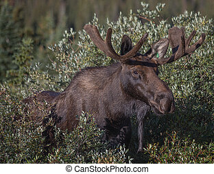 Bull Moose in the Willows - Bull Moose