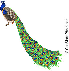 Peacock - An illustration of a peacock with long tail