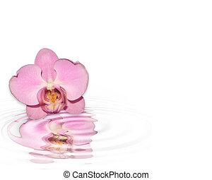 solo, rosa, orquídea, reflejado