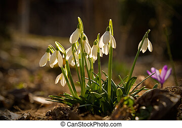 Snowdrops and crocus photographed in a garden