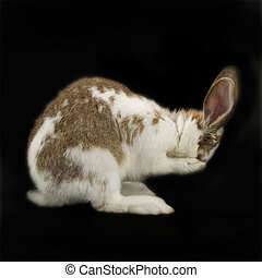 Rabbit covering his eyes on black background