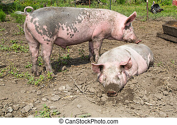 big pig on the farm - big dirty pig lying in the mud