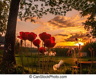 peaceful poppy - Poppies have long been used as a symbol of...