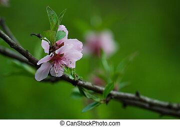 Peack blossom - Peach blossom in a garden