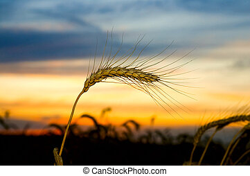 Ripe wheat at sunset