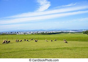 Sheeps farm in Sapporo Japan1
