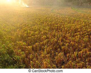 Ricefield fire - Fire in a ricefield at sunset, Bali,...