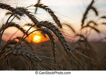 ripe wheat at sunset with sun