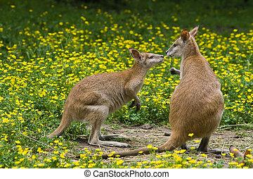 Two wallabies