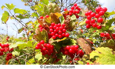 snowball tree red berries close up - bush a guelder-rose...
