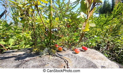 red cranberry berries on a bog - starting to ripen the...