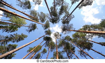 pine wood and cloud - high pine trees in the summer...