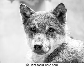 Wolf in black and white - A wolf portrait in black and white...