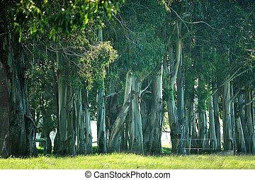 pallisade - trunks of Tasmanian Blue Gums in windbreak,...