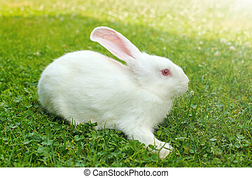 White rabbit in green grass - Young white rabbit in green...